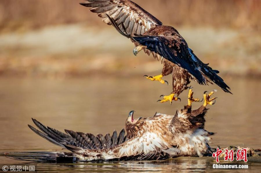 Photo taken by Loren Mooney, 57, shows juvenile Bald Eagles fighting over a salmon in a river in Skagit Valley, Washington. (Photo/VCG)