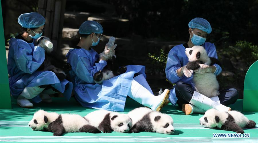 Photo taken on Sept. 28, 2018 shows giant panda cubs at Chengdu Research Base of Giant Panda Breeding in Chengdu, capital of southwest China\'s Sichuan Province. A total of 12 cubs born in the base in 2018 met the public here Friday. (Xinhua)