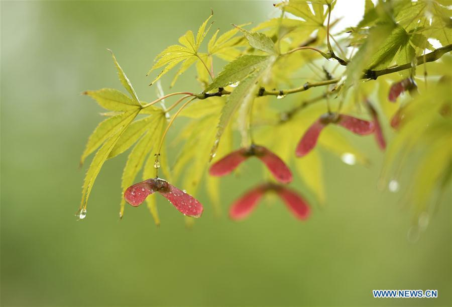Photo taken on Sept. 28, 2018 shows a branch of a maple tree at the Renmin Square in Xuanen County, central China\'s Hubei Province. (Xinhua/Song Wen)