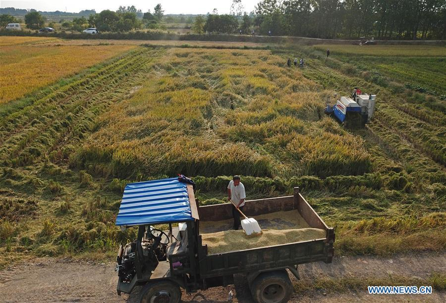 Aerial photo taken on Sept. 27, 2018 shows farmers harvesting rice in the field at Xiaogang Village of Fengyang County, east China\'s Anhui Province. Xiaogang, known as cradle of China\'s rural reform, witnessed great change in the past 40 years. (Xinhua/Cai Yang)