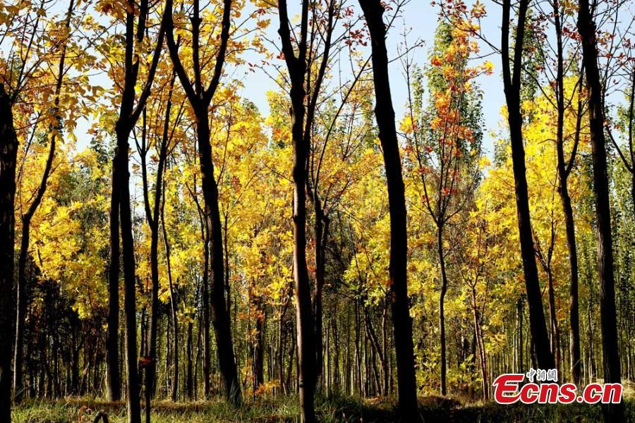A view of the natural wonders in Zhangye City, Northwest China's Gansu Province.  As leaves turn from green to yellow or red, the Hexi Corridor, part of the historic Silk Road, shows a stunning autumn scenery under the blue sky. (Photo: China News Service/Chen Li)