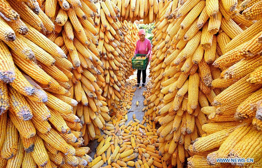 A farmer conveys newly-harvested corns in Nanbaozhuang Village of Zibo City, east China\'s Shandong Province, Sept. 27, 2018. (Xinhua/Zhao Dongshan)