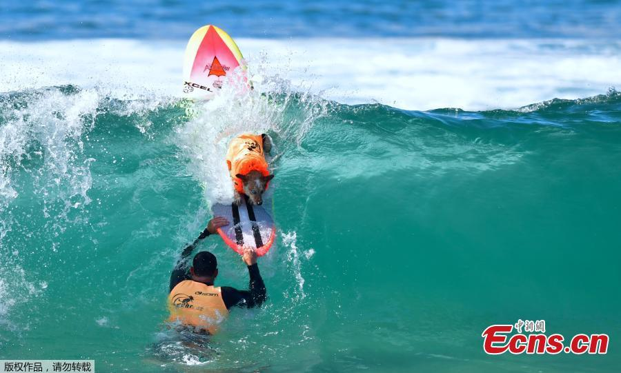 A Surfing Dog stays on the board as a big wave crashes during the 10th annual Surf City Surf Dog contest in Huntington Beach, California, Sept. 29, 2018. (Photo/Agencies)