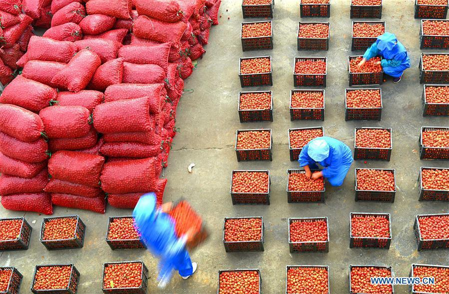 Workers convey newly-harvested hawthorn fruits in Cuijiazhuang Village of Zibo City, east China\'s Shandong Province, Sept. 27, 2018. (Xinhua/Zhao Dongshan)