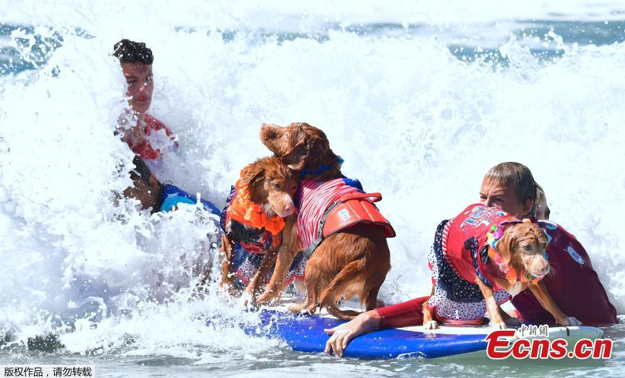Surfing Dogs stay on their boards as waves crash during the 10th annual Surf City Surf Dog contest in Huntington Beach, California, Sept. 29, 2018. (Photo/Agencies)