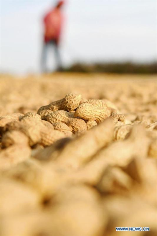 A farmer airs newly-harvested peanuts at Huangshanzi Village of Zibo City, east China\'s Shandong Province, Sept. 27, 2018. (Xinhua/Zhao Dongshan)