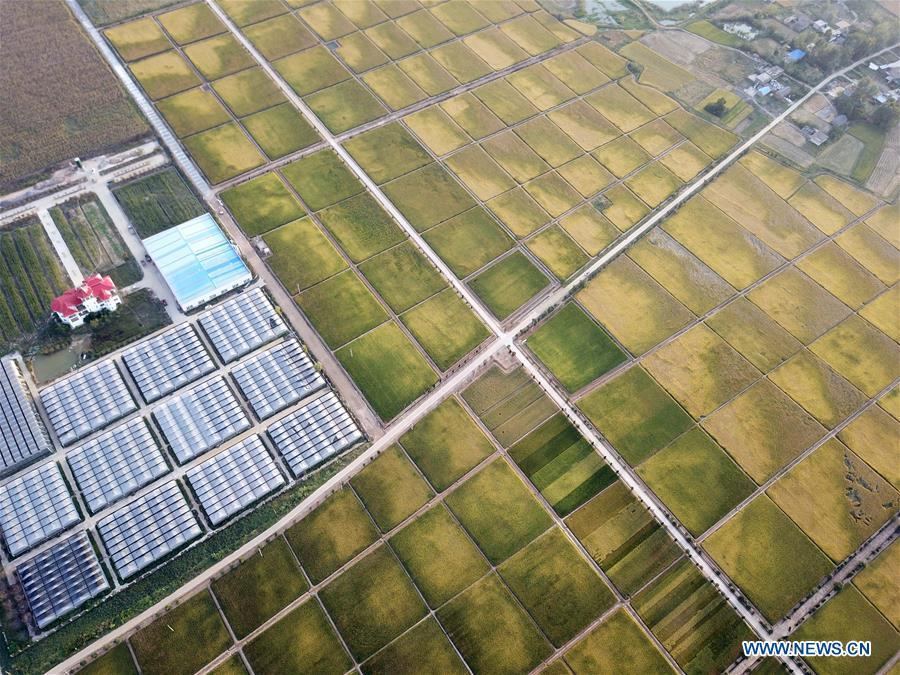 Aerial photo taken on Sept. 26, 2018 shows the rice fields of Xiaogang Village in Fengyang County, east China\'s Anhui Province. Xiaogang, known as cradle of China\'s rural reform, witnessed great change in the past 40 years. (Xinhua/Liu Junxi)