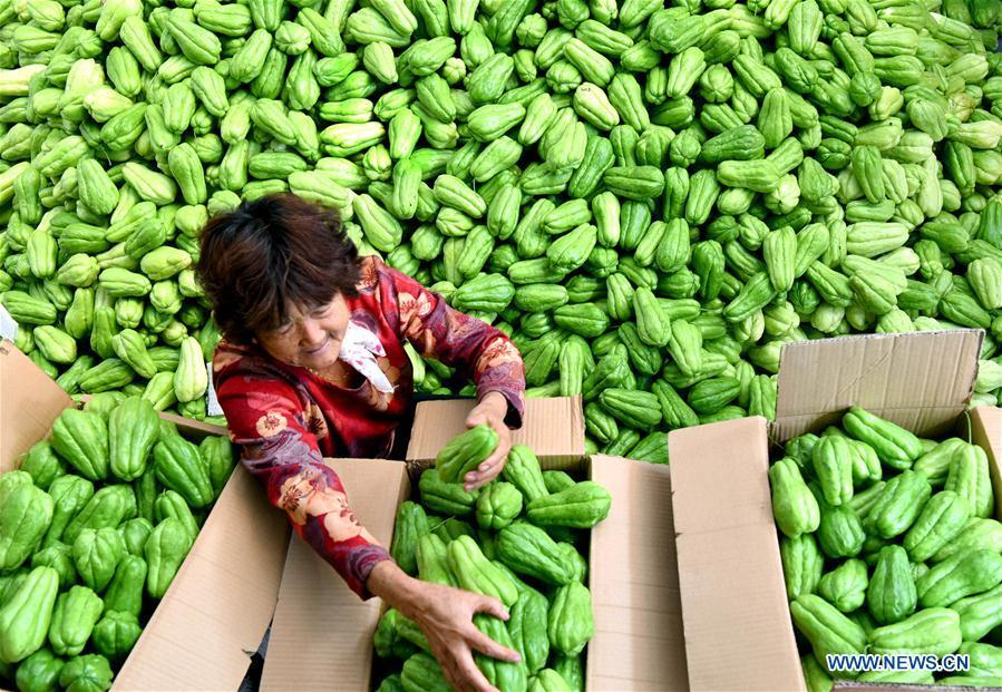 A farmer select newly-harvested chayotes in Dongyutai Village of Zibo City, east China\'s Shandong Province, Sept. 28, 2018. (Xinhua/Zhao Dongshan)