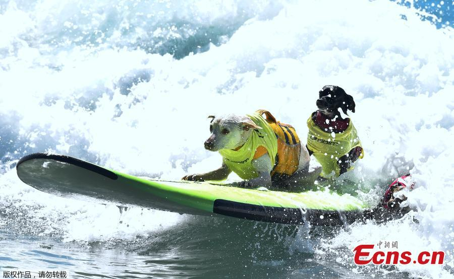 Surf Dogs ride a wave in tandem during the 10th annual Surf City Surf Dog contest in Huntington Beach, California, Sept. 29, 2018. (Photo/Agencies)
