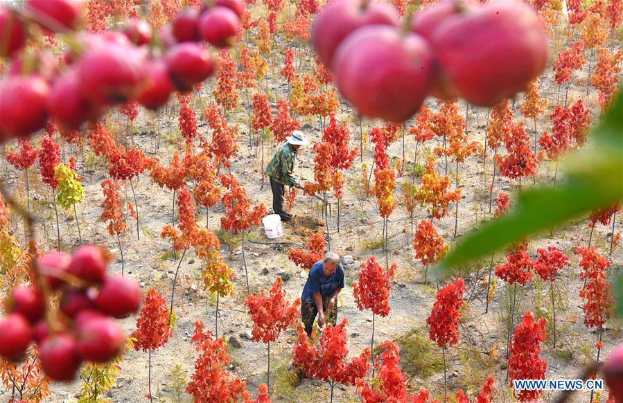Farmers work in the nursery stock field in Huangshanzi Village of Zibo City, east China\'s Shandong Province, Sept. 28, 2018. (Xinhua/Zhao Dongshan)