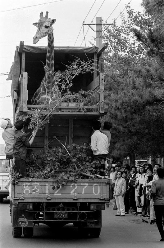 A male giraffe, named Zhu Dan, arrives in Dalian, Liaoning province, in May 1991. [LI MINGFANG/FOR CHINA DAILY]