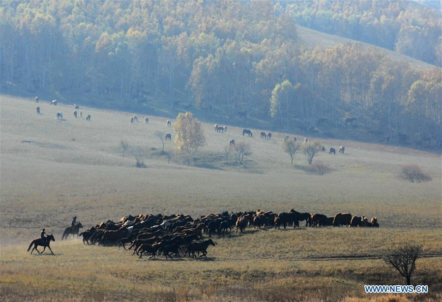 Two herdsmen tame horses on the Ulan Butong grassland in Hexigten Banner of Chifeng, north China\'s Inner Mongolia Autonomous Region, Oct. 2, 2018. (Xinhua/Pan Zhengguang)