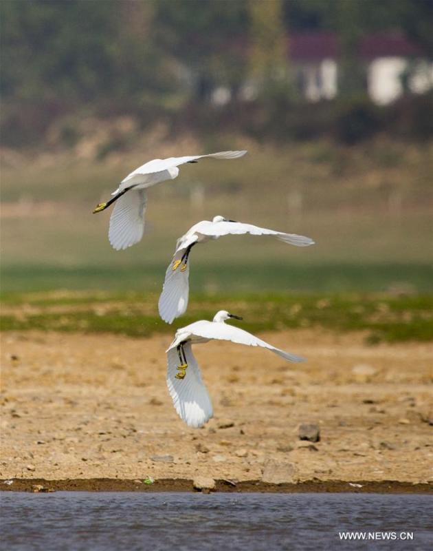 Egrets are seen flying above the Maying water area of the Poyang Lake in Duchang County, east China\'s Jiangxi Province, Oct. 4, 2018. (Xinhua/Fu Jianbin)