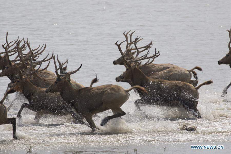 A herd of milu deer are seen on a wetland at the Dafeng Milu National Nature Reserve in Yancheng City, east China\'s Jiangsu Province, Oct. 4, 2018. (Xinhua/He Jinghua)