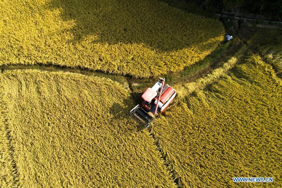 A villager operates a reaper to harvest rice in Luoyang Village of Duobao Township in Duchang County, east China\'s Jiangxi Province, Oct. 4, 2018. (Xinhua/Fu Jianbin)