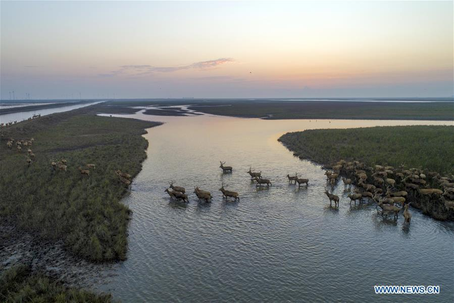 Aerial photo taken on Oct. 4, 2018 shows a herd of milu deer on a wetland at the Dafeng Milu National Nature Reserve in Yancheng City, east China\'s Jiangsu Province. (Xinhua/He Jinghua)