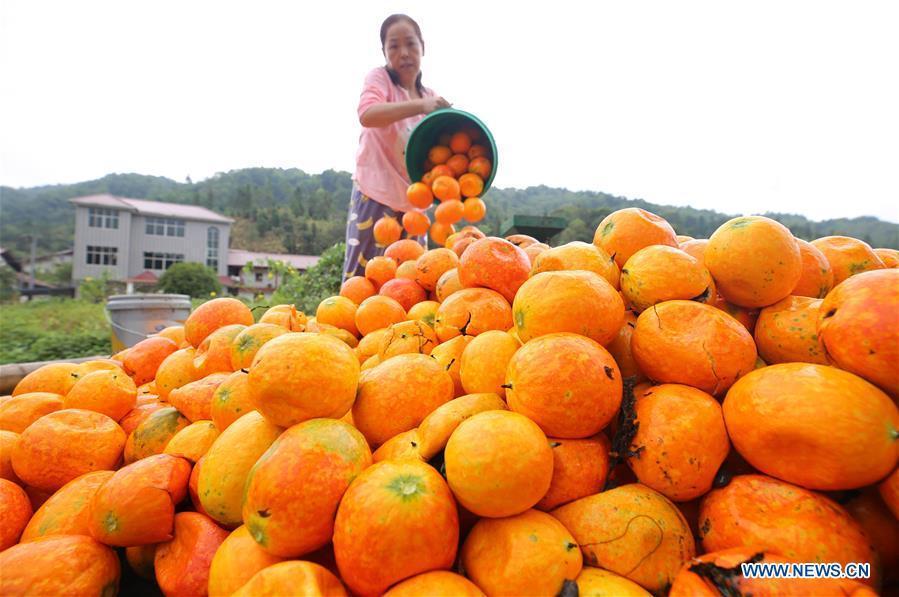 A villager pours harvested fruits of Trichosanthes Kirilowii in Shankou Village of Gaohu Township in Jing\'an County, east China\'s Jiangxi Province, Oct. 4, 2018. (Xinhua/Xu Zhongting)