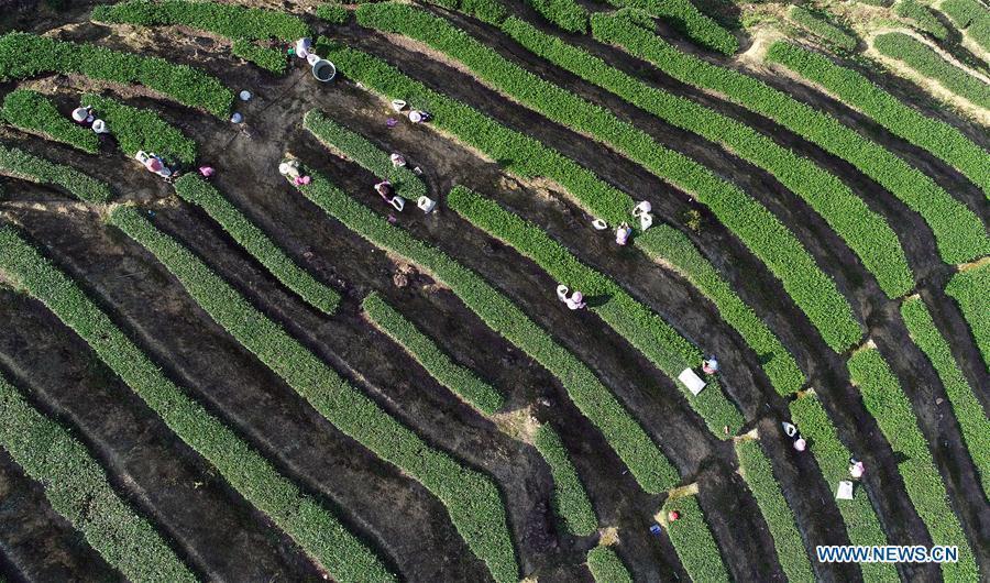 Aerial photo taken on Oct. 6, 2018 shows farmers picking tea leaves in Jiuzhai Village of Anxi County, southeast China\'s Fujian Province. Anxi County saw the harvest season for Tieguanyin autumn tea, a type of oolong tea. (Xinhua/Zhang Jiuqiang)