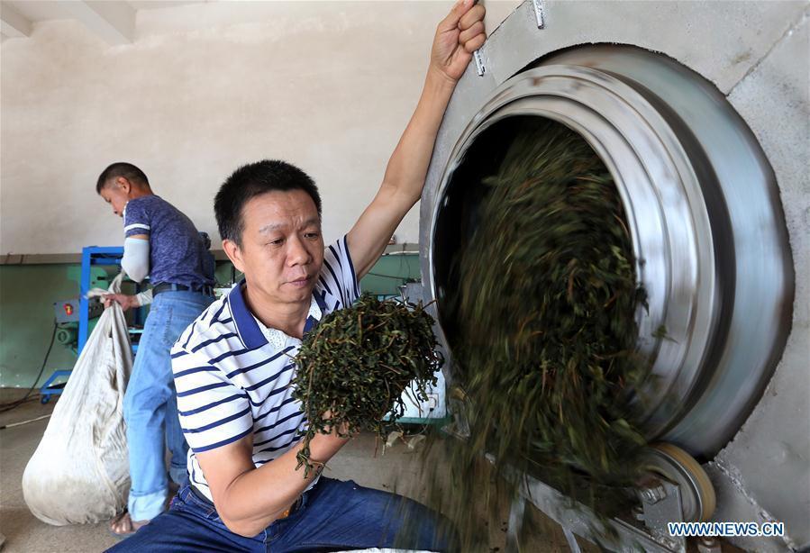 A farmer dries tea leaves in Fangting Village of Anxi County, southeast China\'s Fujian Province, Oct. 6, 2018. Anxi County saw the harvest season for Tieguanyin autumn tea, a type of oolong tea. (Xinhua/Zhang Jiuqiang)
