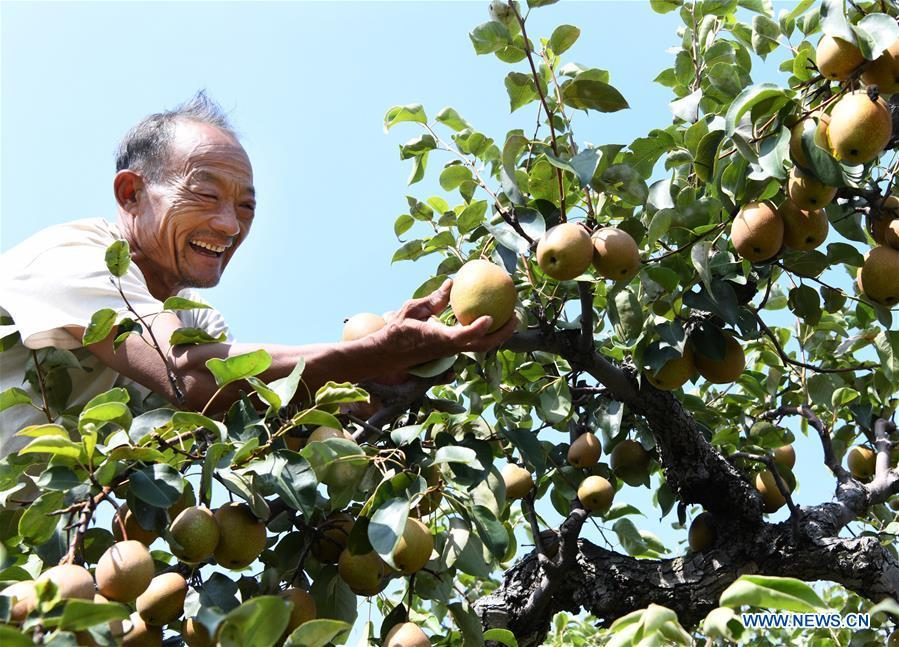 A farmer picks red pears in Qinwo Village, Shanting District in Zaozhuang City, east China\'s Shandong Province, Oct. 5, 2018. (Xinhua/Li Zongxian)