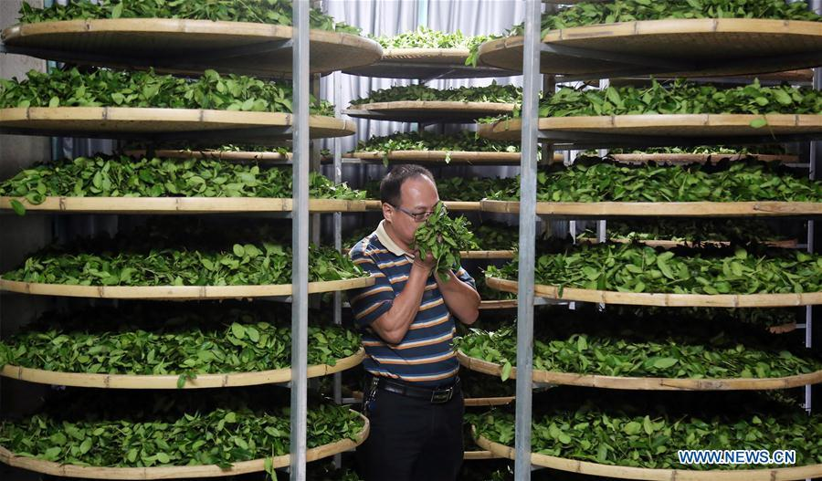 A farmer checks the newly-picked tea leaves in Jiuzhai Village of Anxi County, southeast China\'s Fujian Province, Oct. 6, 2018. Anxi County saw the harvest season for Tieguanyin autumn tea, a type of oolong tea. (Xinhua/Zhang Jiuqiang)