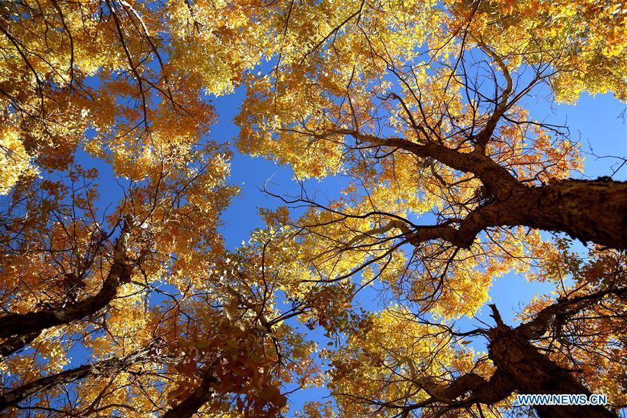 Photo taken on Oct. 6, 2018 shows the autumn scenery of the forest of populus euphratica, commonly known as desert poplar, in the Mogao Township of Dunhuang City, northwest China\'s Gansu Province. (Xinhua/Zhang Xiaoliang)
