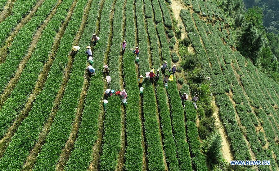 Aerial photo taken on Oct. 6, 2018 shows farmers picking tea leaves in Jiuzhai Village of Anxi County, southeast China\'s Fujian Province. Anxi County saw the harvest season for Tieguanyin autumn tea, a type of oolong tea. (Xinhua/Zhang Jiuqiang)