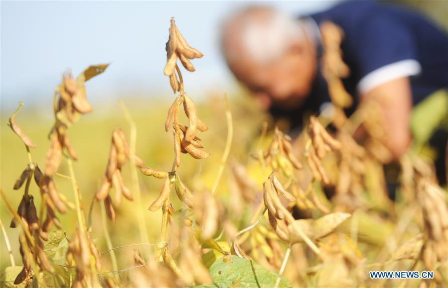 <?php echo strip_tags(addslashes(A farmer harvests soybeans at a field in Shuangying Village of Yangzhou City, east China's Jiangsu Province, Oct. 5, 2018. (Xinhua/Pu Liangping))) ?>