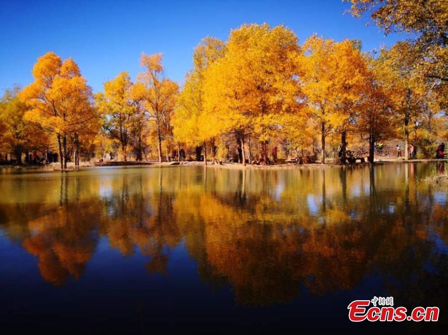 Tourists visit a populus euphratica, or desert poplar, forest in Jinta County, Northwest China\'s Gansu Province, Oct. 5, 2018. Covering 5,300 hectares, the forest in the west of the county is an important part of Three-North Shelter Forest Program, a national ecological engineering effort. (Photo: China News Service/Gao Hongshan)
