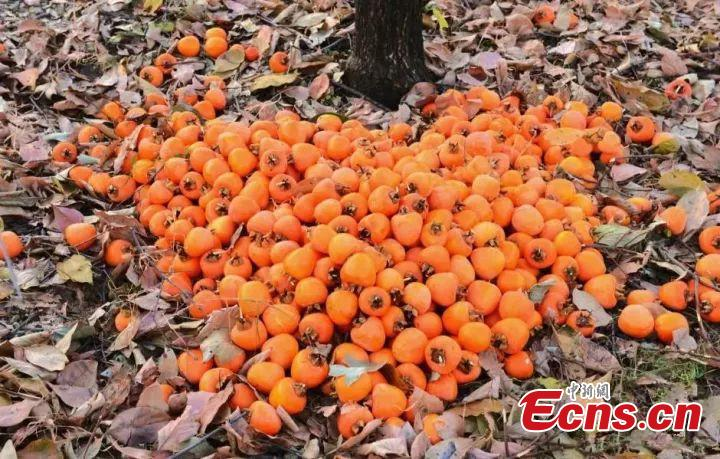 Yummy persimmons  Persimmons ripen during the season, making it a popular food that is said to be good for improving digestion and other health benefits .(Photo/China News Service)