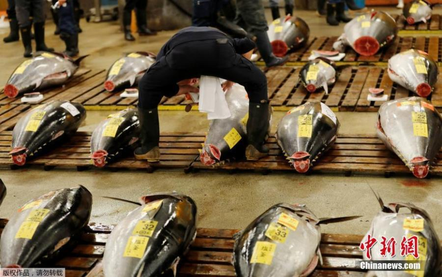 A wholesaler checks the quality of fresh tuna displayed at the last tuna auctions at the Tsukiji fish market before it moves to the new Toyosu market in Tokyo, Japan, Oct. 6, 2018. Tokyo's famed Tsukiji market, the world's largest fishmarket and a major tourist attraction, held its final tuna auction on Saturday before a controversial move to a new site next week. The 83-year-old Tsukiji market drew tens of thousands of visitors a year to its warren of stalls with exotic species of fish and fresh sushi. (Photo/Agencies)