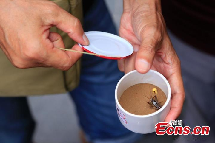 Cricket fight  The sound of crickets ushers in late autumn and cold weather, reminding people they need to prepare clothes for the winter, as described in folk customs.(Photo/China News Service)