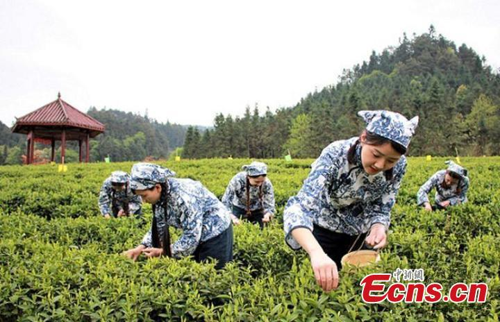 Seasonal tea  The period around the Cold Dew is a good time for the growth of tea trees. Tea collected in the three days before and the four days after Cold Dew is said to be the highest quality in the season.(Photo/China News Service)