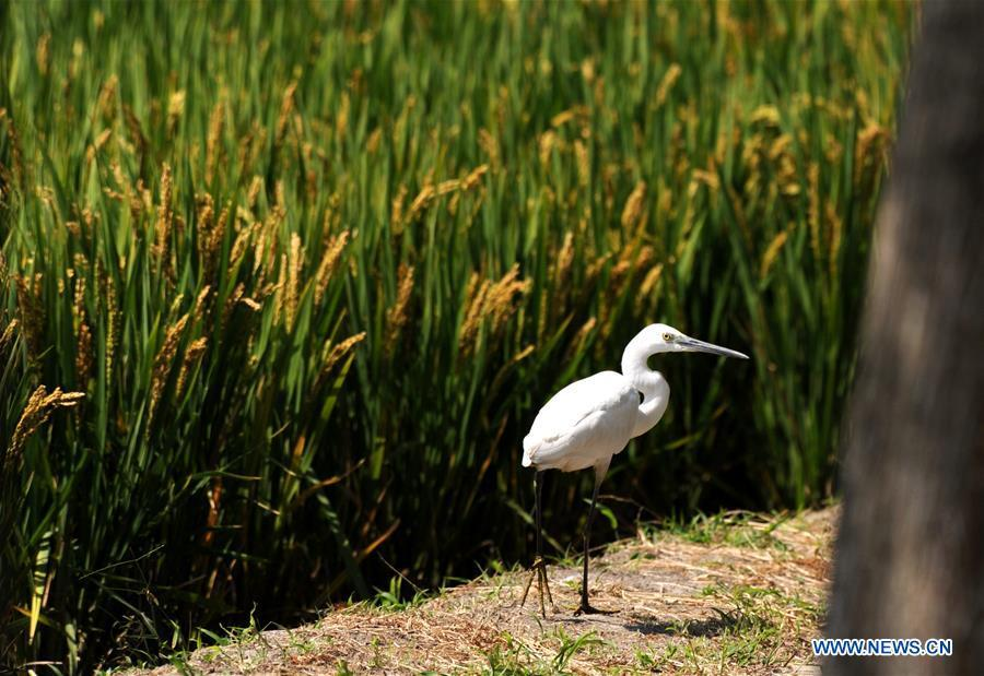 An egret is seen beside a rice field in Huguang Village of Maogang Town in Songjiang District of Shanghai, east China, Oct. 4, 2018. (Xinhua/Zhang Jiansong)