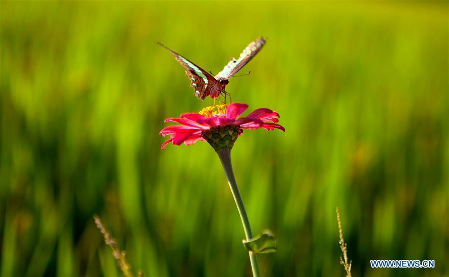 A butterfly rests on a flower in Huguang Village of Maogang Town in Songjiang District of Shanghai, east China, Oct. 4, 2018. (Xinhua/Zhang Jiansong)