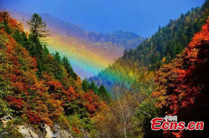 Time to appreciate red autumnal leaves  It's a tradition in many places to appreciate the red maple leaves, which only get more colorful in late autumn.(Photo/China News Service)