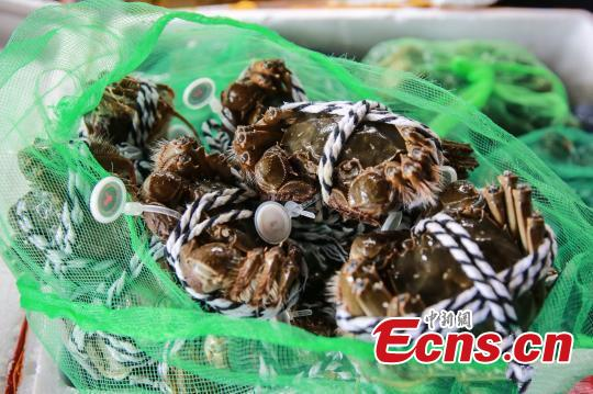 Best time to eat crabs  The female crab is juicy during the season.(Photo/China News Service)