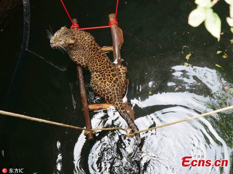 A seven-year-old female leopard escaped a narrow brush with death after falling into a 9-meter-deep well in Yadavwadi village located in Belhe, Otur range, India. The animal was rescued by Wildlife SOS and the state forest department. (Photo/IC)