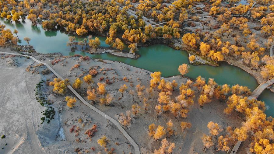 Aerial photo taken on Oct. 10, 2018 shows the autumn scenery of the populus euphratica forest in Ejin Banner, north China\'s Inner Mongolia Autonomous Region. The golden leaves in autumn attract many tourists. (Xinhua/Zou Yu)