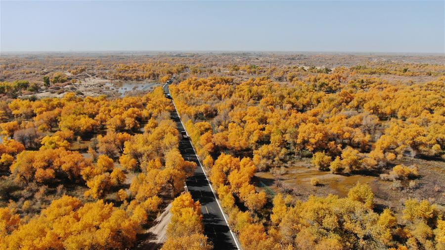 Trees of populus euphratica are seen in Ejin Banner, north China\'s Inner Mongolia Autonomous Region, Oct. 10, 2018. The golden leaves in autumn attract many tourists. (Xinhua/Zou Yu)