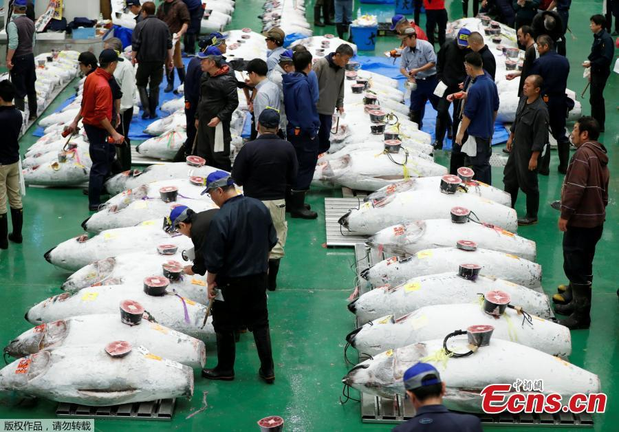 Wholesalers check the quality of frozen tuna displayed during the first tuna auctions on the opening day of the new Toyosu fish market, which has been relocated from Tsukiji, in Tokyo, Japan, October 11, 2018. (Photo/Agencies)