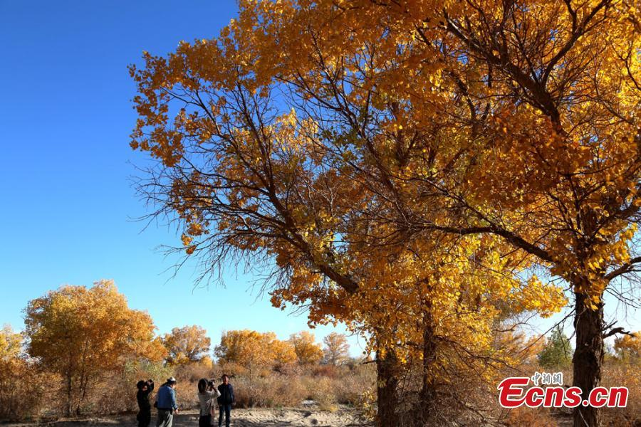 Tourists visit a forest of desert poplar or populus euphratica in Huangqu Town, Dunhuang City, Northwest China\'s Gansu Province. During the autumn months, the town has drawn tourists eager to see the striking golden leaves of the trees against clear, blue skies. (Photo: China News Service/Li Xiaoling)