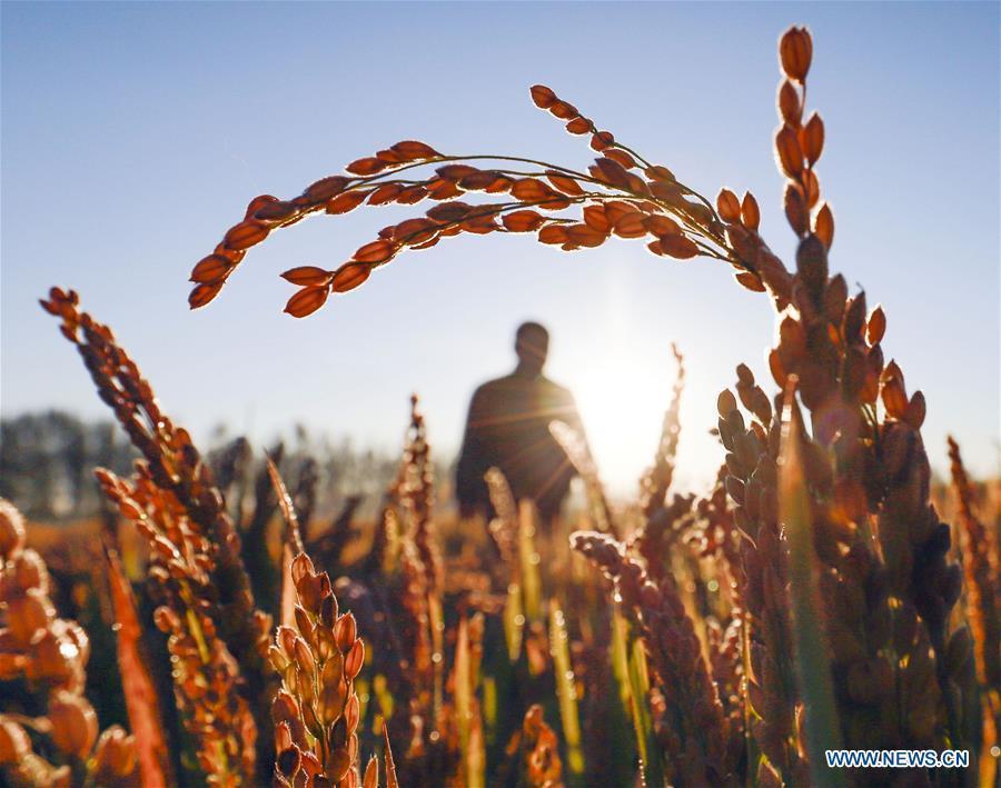 Photo taken on Oct. 10, 2018 shows a farmer working in the field in Qiandaodi Village of Zunhua City, north China\'s Hebei Province. (Xinhua/Liu Mancang)