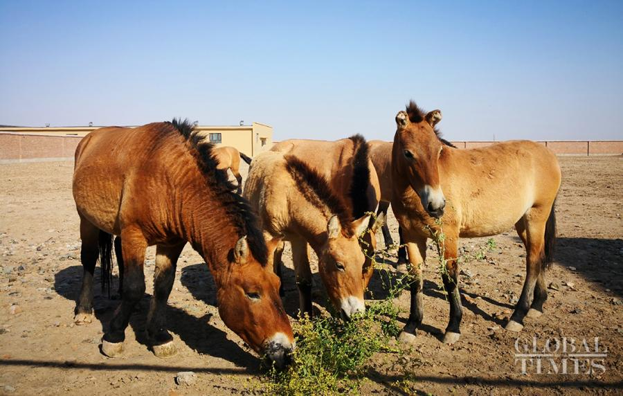 Przewalski\'s horses are the only existing wild horse in the world and the species even has a longer history than giant pandas. There are approximately 400 wild Przewalski\'s horses in Northwest China\'s Xinjiang Uyghur Autonomous Region. Here\'s a look at these rare horses at a breeding center in Jimsar county, Changji Hui Autonomous Prefecture, Xinjiang Uyghur Autonomous Region. (Photos: Cui Meng/GT)