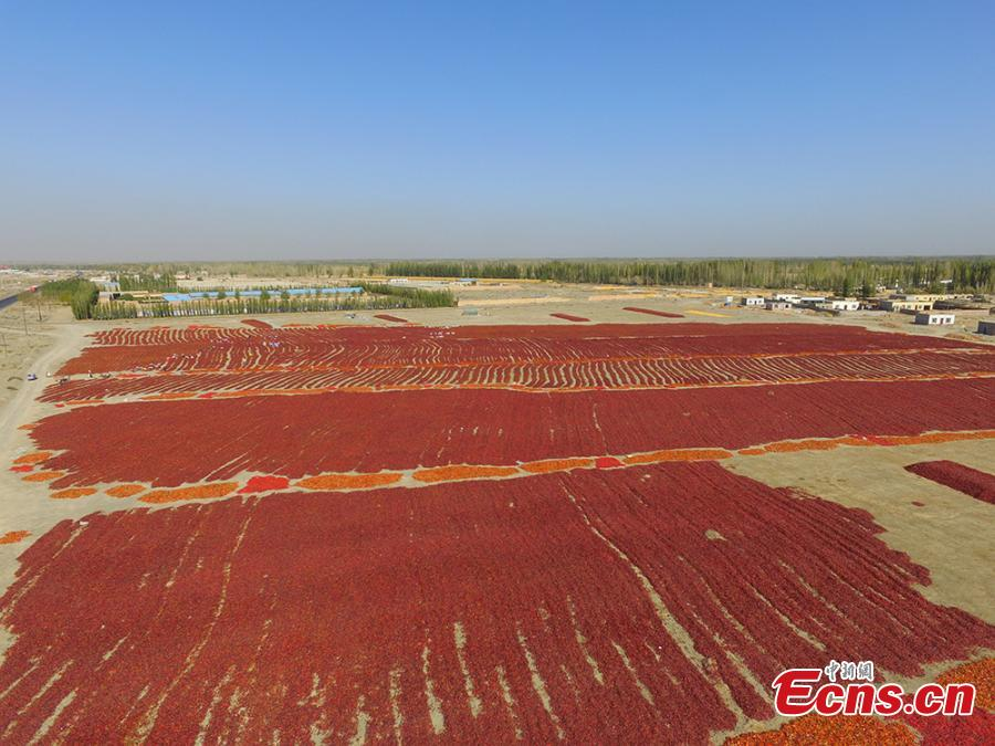Farmers reap chilies in a fiery red field in the Yanqi area of the Xinjiang Production and Construction Corps (XPCC), a quasi-military, governmental organization in the Xinjiang Uygur autonomous region. Yanqi, with its fertile soils and long sunshine hours, is a major production base for chilies. A main source of income for the region, the high-quality chilies sell well in provinces including Shandong, Shaanxi, Hebei and Shanxi. (Photo: China News Service/He Fei)