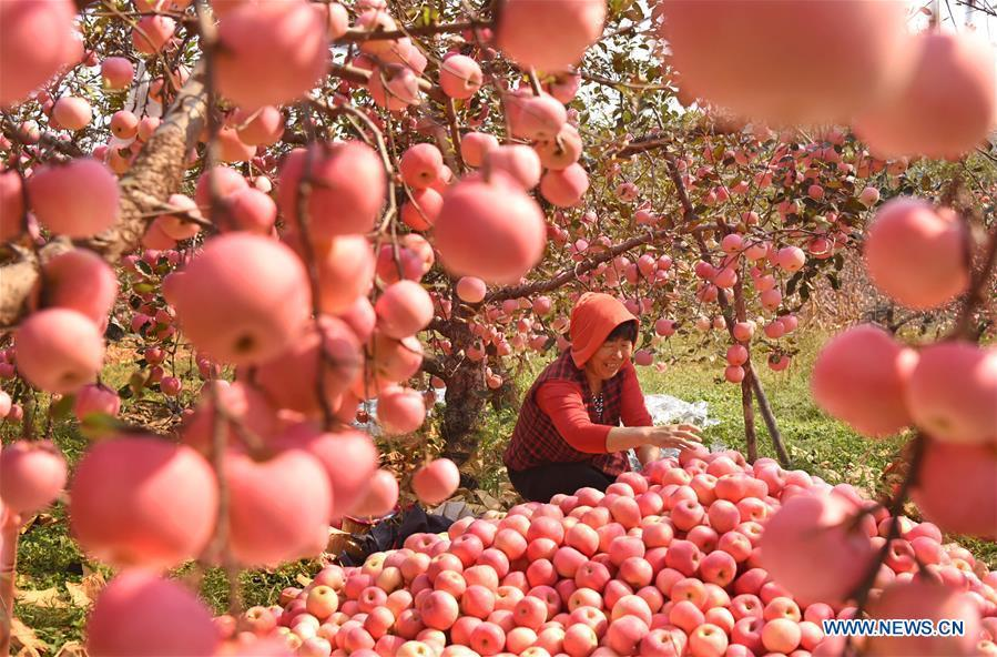 A farmer sorts out apples in an orchard at Houshuibei Village in Yiyuan County, east China\'s Shandong Province, on Oct. 12, 2018. (Xinhua/Zhao Dongshan)