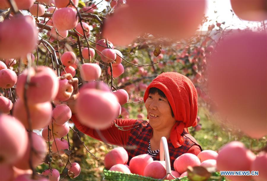 A farmer picks apples in an orchard at Houshuibei Village in Yiyuan County, east China\'s Shandong Province, on Oct. 12, 2018. (Xinhua/Zhao Dongshan)