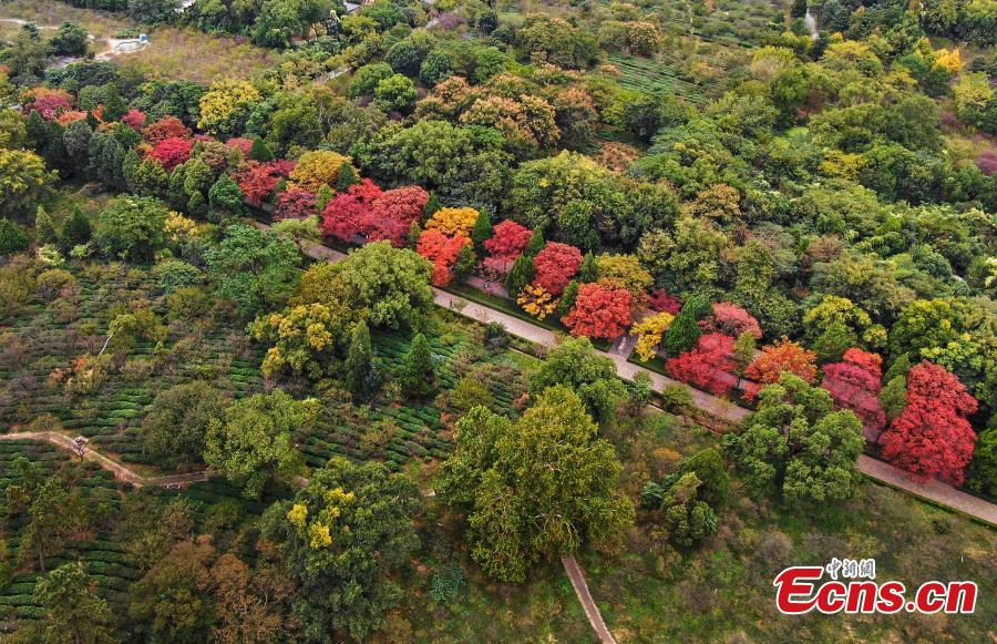 A view of the Shixiang Road, flanked by trees with great autumn foliage, at the Ming Xiaoling Mausoleum in Nanjing City, East China's Jiangsu Province, Oct. 15, 2018. At the southern foot of Purple Mountain, Xiaoling is the mausoleum of the first Ming Dynasty (1368-1644) emperor Zhu Yuanzhang. (Photo: China News Service/Yang Bo)