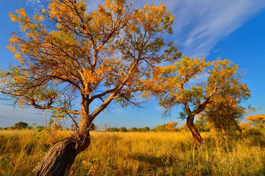 Euphrates poplar trees with golden leaves are seen in Karamay, Xinjiang Uygur autonomous region. (Photo provided to China Daily)