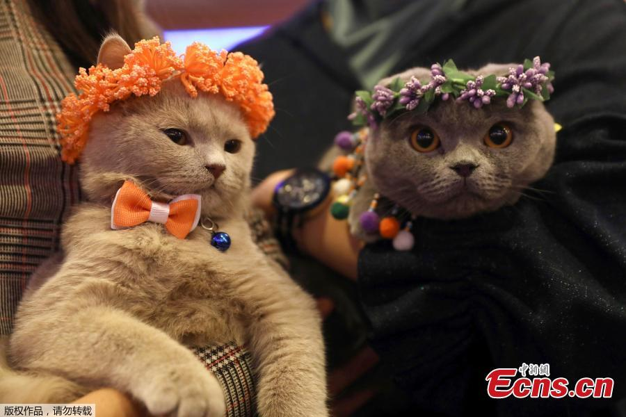 This picture shows two cats wearing accessories during the 3rd International Pursaklar Cat Beauty Fest\', organized by Pursaklar Municipality in Ankara, Turkey, October 14, 2018. (Photo/Agencies)